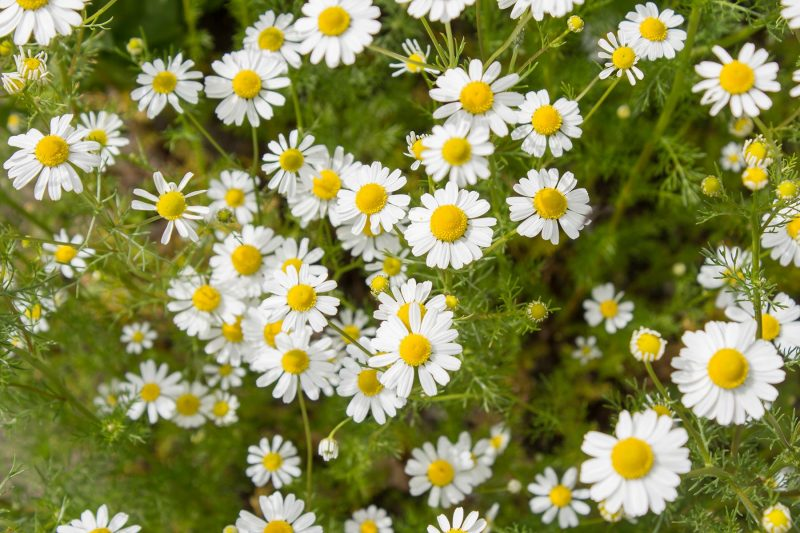 Chamomile - Properties And Application