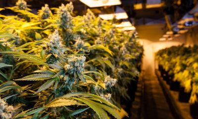 Starting a Cannabis Company